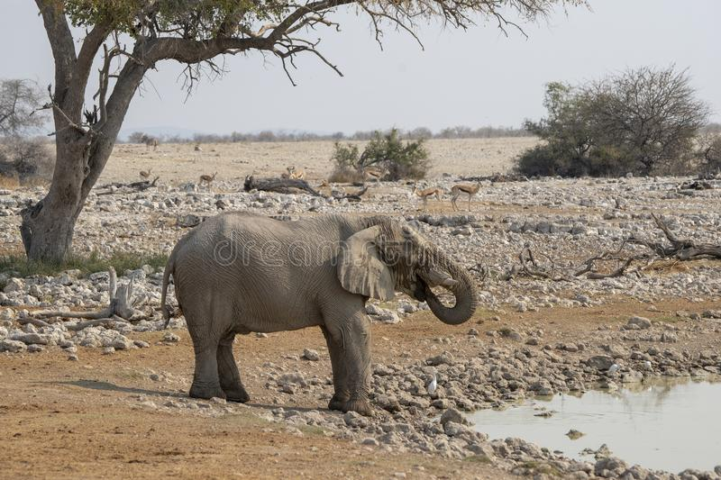 An elephant on one of the many waterholes in Etosha National Park - Namibia. royalty free stock photo
