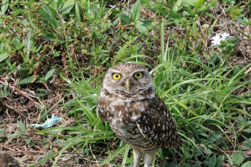 Burrowing owl facing onlooker in south Florida stock photography