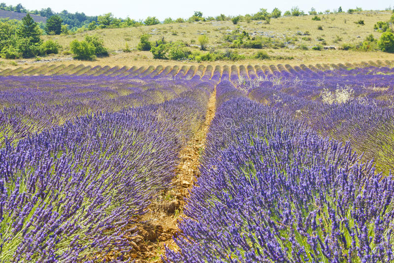 Download South of France, Provence stock image. Image of fragrant - 26134181