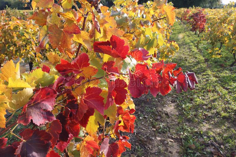 South France, red and yellow leaves of an autumn vineyard royalty free stock photography