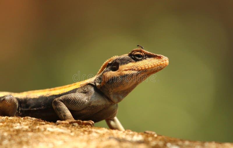 South Indian Rock Agama, Psammophilus dorsalis, Nandi Hills, Bangalore, Karnataka, India stock photos
