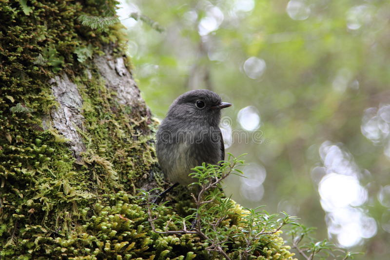 Download South Island Robin Stock Photography - Image: 22620762