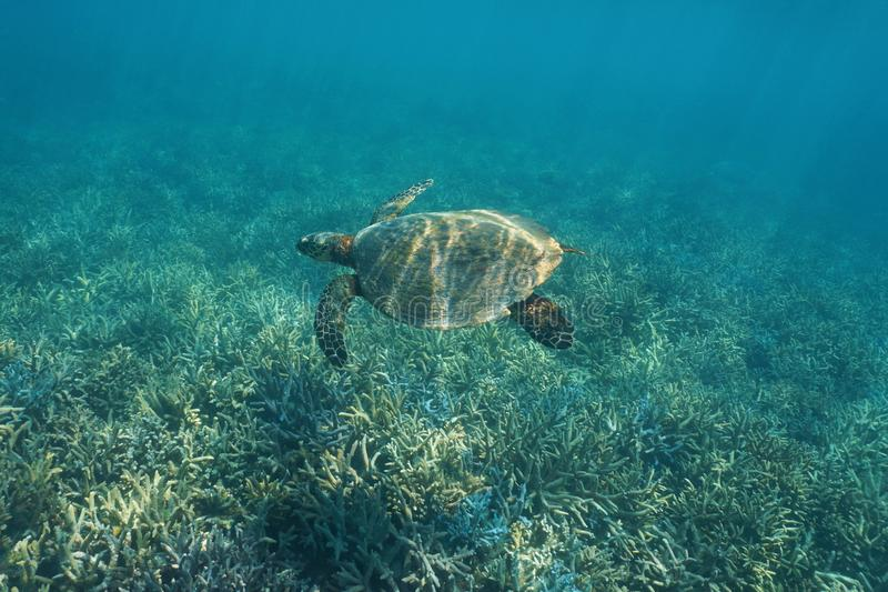 Pacific ocean hawksbill sea turtle over coral reef royalty free stock images