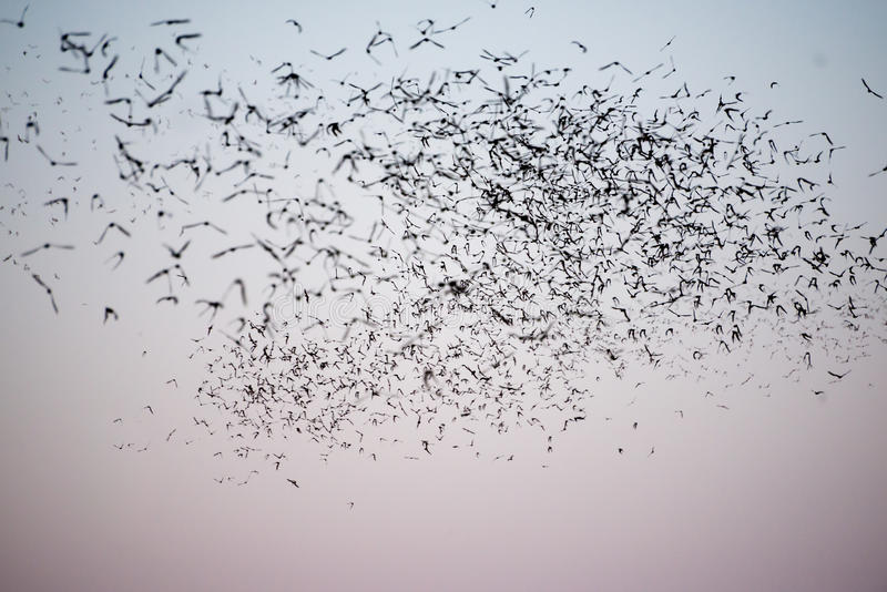 South Texas Mexican Free-Tailed Bats royalty free stock photography
