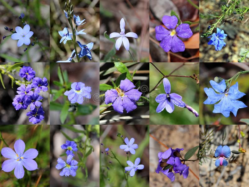 South West Australian Blue Wild flowers Collage. The collage of blue West Australian wild flowers portrays blue leschenaultia, dampiera, blue orchid, blue pea royalty free stock photo