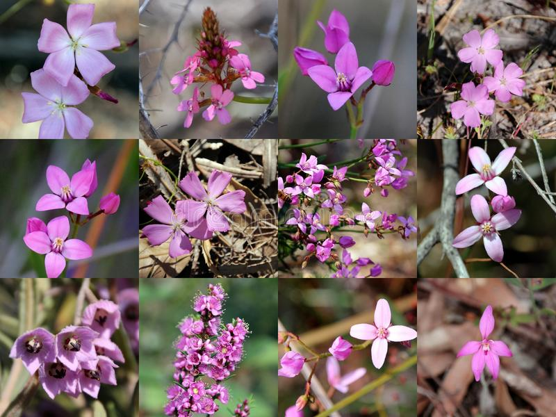 South West Australian Pink Wild flowers Collage. The collage of pink West Australian wild flowers portrays boronia ovata, pink lady orchid, Swan river myrtle royalty free stock image