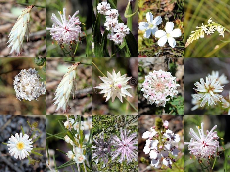 South West Australian White Wild flowers Collage. The collage of white West Australian wild flowers portrays rice flowers, sundew, trigger plant, pixie mops stock photography