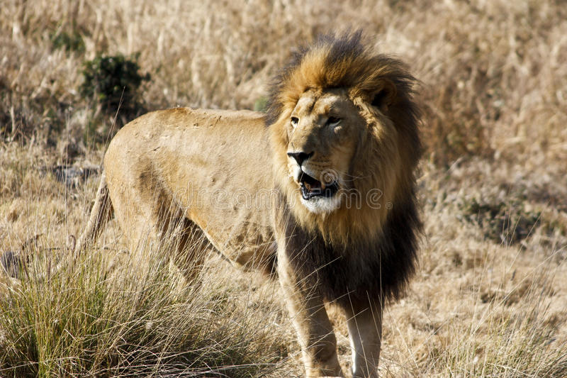 SOUTHEAST AFRICAN LION (TRANSVAAL LION). A Southeast African Lion or Transvaal Lion in National Zoological Gardens of South Africa, Pretoria (Image Reference royalty free stock photography