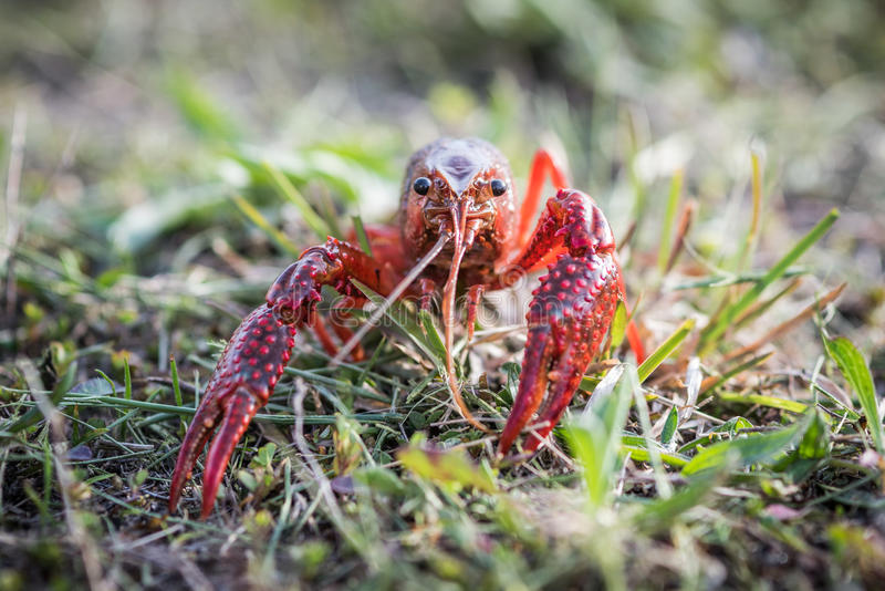 Southeastern Crayfish Procambarus clarkii also known as crawda. A red southeastern crawdad walking towards camera royalty free stock photo
