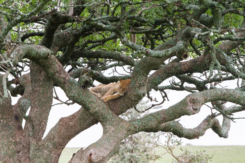 Southern African lioness Panthera leo in a tree. Southern African lioness Panthera leo, species in the family Felidae and a member of the genus Panthera, listed stock photography