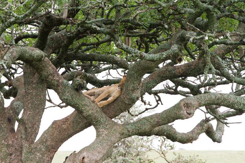Southern African lioness Panthera leo in a tree. Southern African lioness Panthera leo, species in the family Felidae and a member of the genus Panthera, listed stock photos