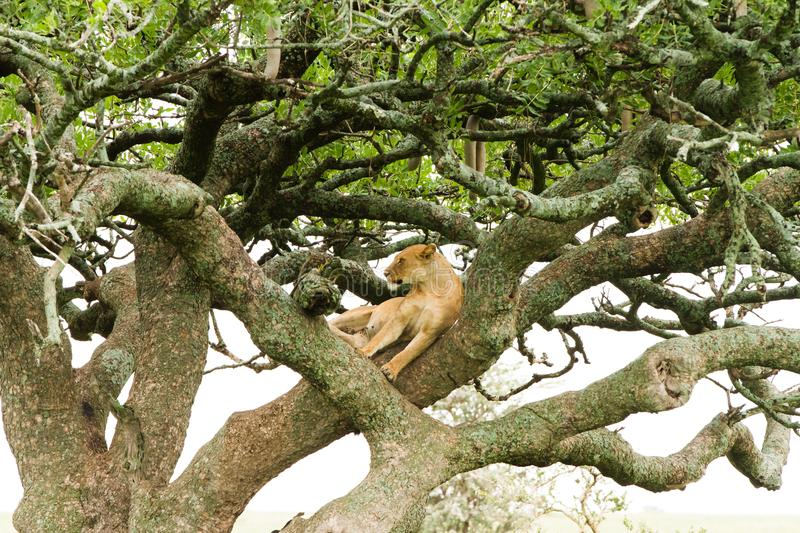 Southern African lioness Panthera leo in a tree. Southern African lioness Panthera leo, species in the family Felidae and a member of the genus Panthera, listed royalty free stock images