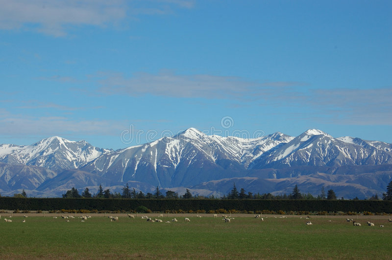 Southern Alps. And sheep, Canterbury, New Zealand stock image