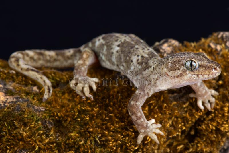 Southern Alps gecko Woodworthia sp. The Southern Alps gecko Woodworthia `Southern Alps` is able to survive even in very high mountains has a range up to at stock photo