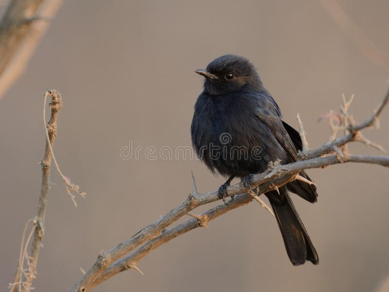 Southern Black-Flycatcher (Melaenornis Pammelaina). This is a little black bird which you can find in South Africa royalty free stock photography