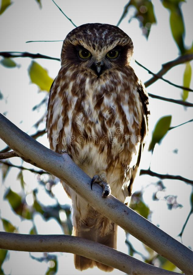 Southern Boobook owl Australian native bird. Southern Boobook owl, a bird common to Victoria makes a distinct call at night. I spooked the owl out of its tree by royalty free stock photos
