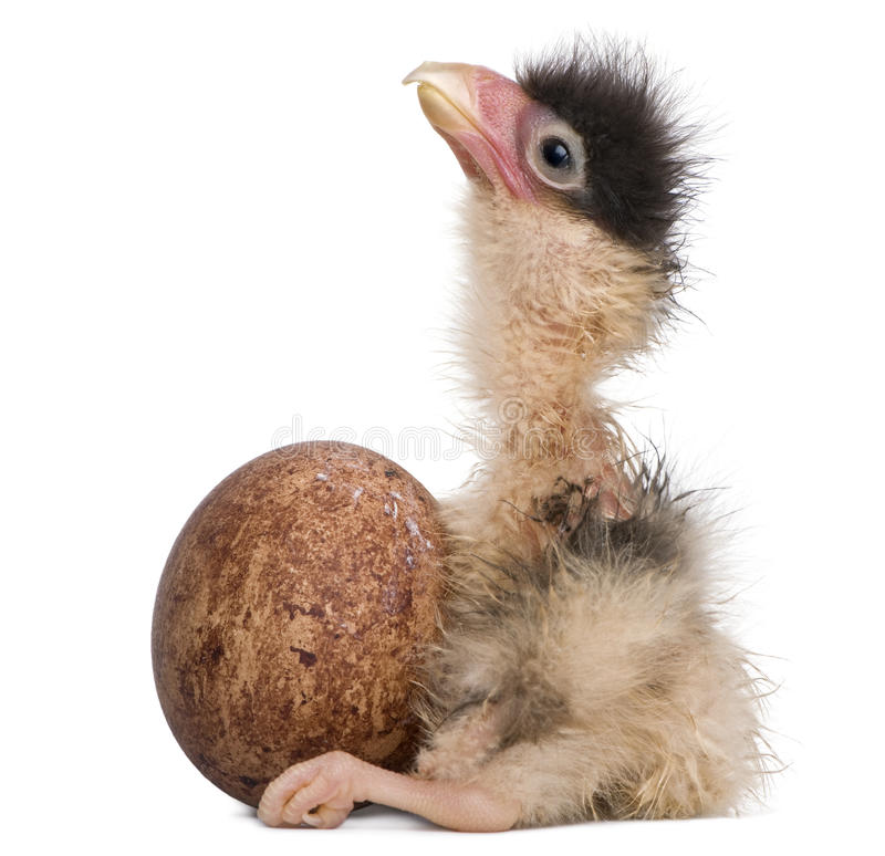 Southern Caracaras, 12 hours old, chick sitting stock photos