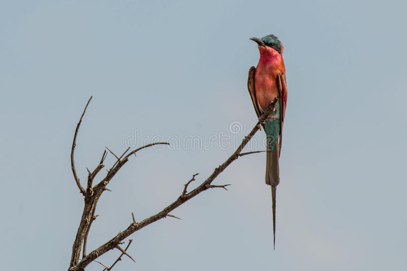 Southern Carmine Bee Eater stock image