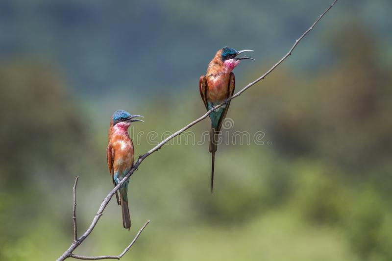 Southern Carmine Bee-eater in Kruger National park, South Africa royalty free stock photo