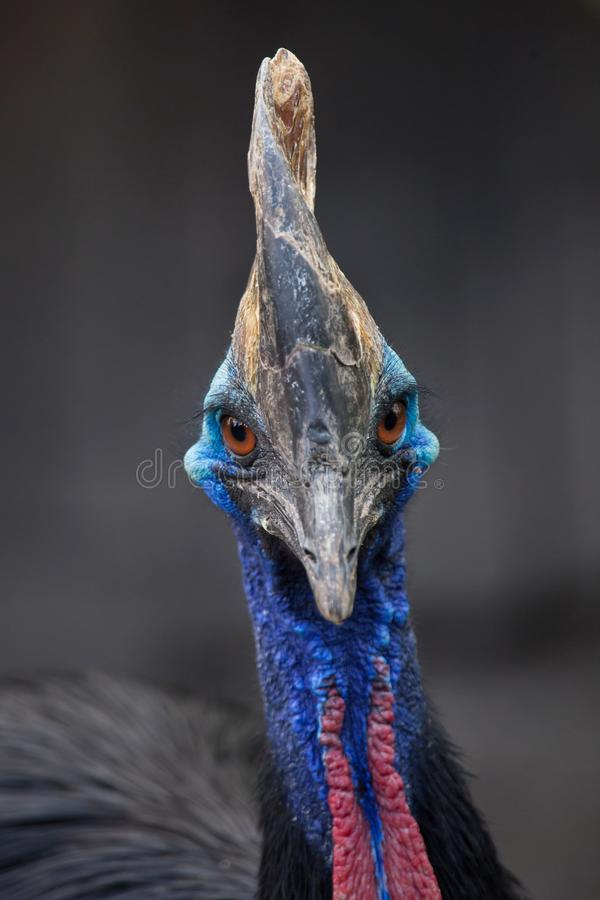 Southern cassowary Casuarius casuarius. Also known as the double-wattled cassowary royalty free stock photo