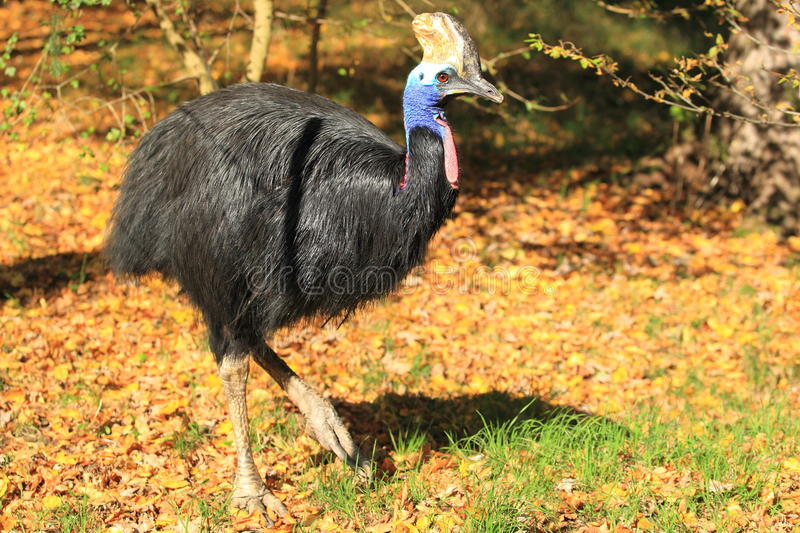 Southern cassowary. The southern cassowary in the soil in autumn royalty free stock images