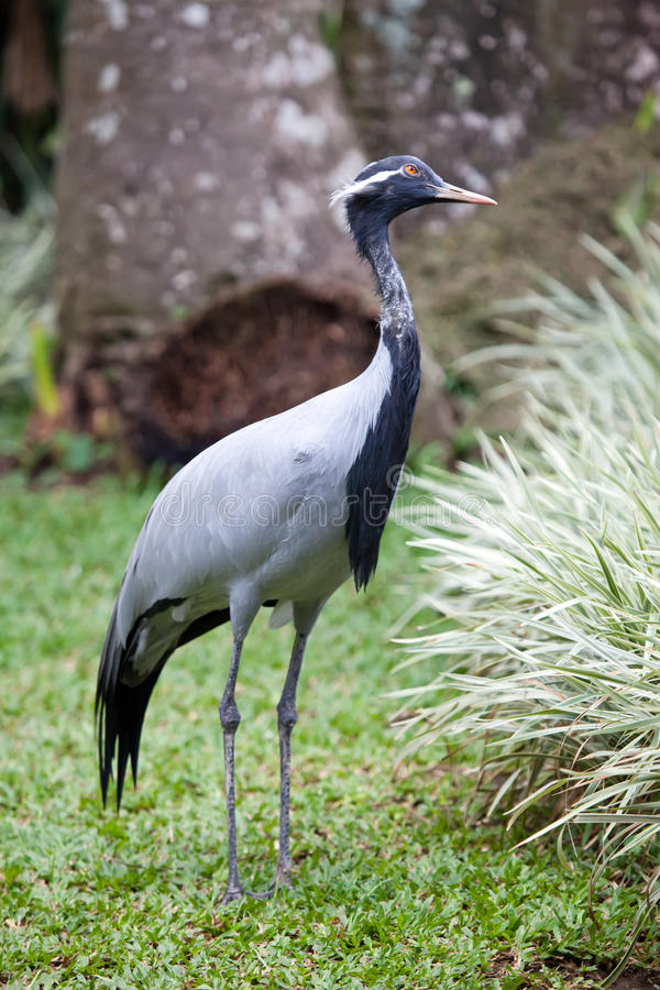 Free Southern Crowned Grey Crane Stock Image - 28334401