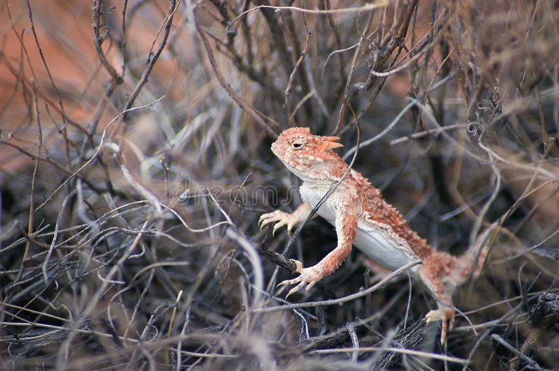 Southern Desert Horned Lizard royalty free stock image