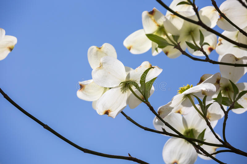Southern dogwood trees in bloom. Southern Dogwood trees in spring bloom stock images