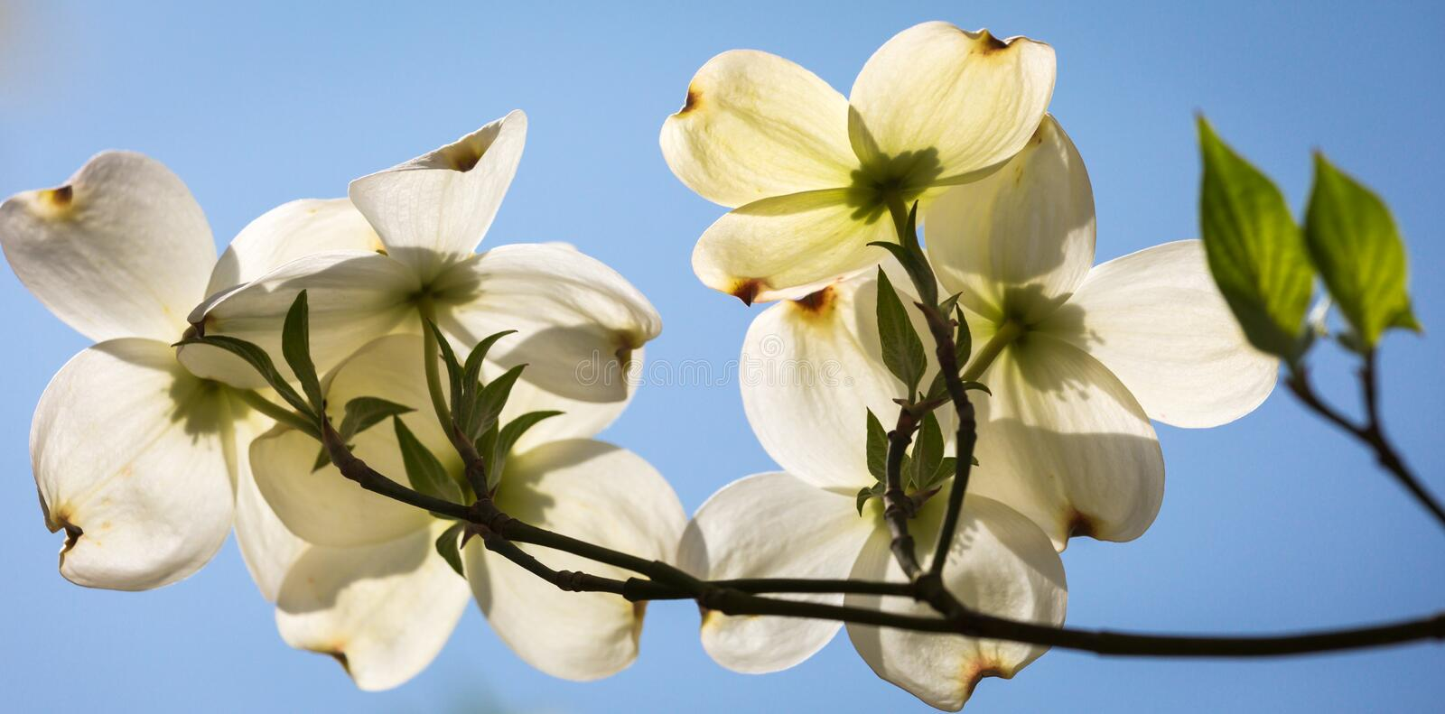 Southern dogwood trees in bloom. Southern Dogwood trees in spring bloom stock photos