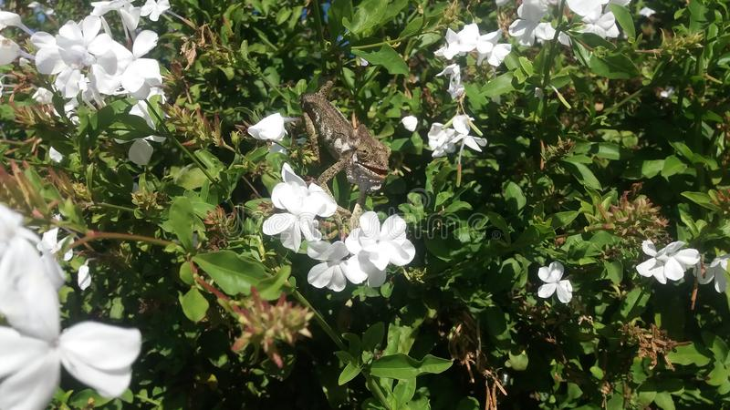 Southern Dwarf Chameleon in a white flower bush. royalty free stock photography