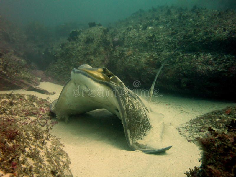 Southern Eagle Ray. (Myliobatis australis) getting ready for take off stock image