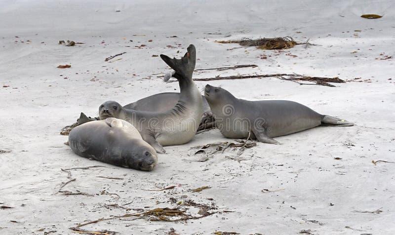 Southern Elephant Seals (Mirounga Leonina) Royalty Free Stock Photography