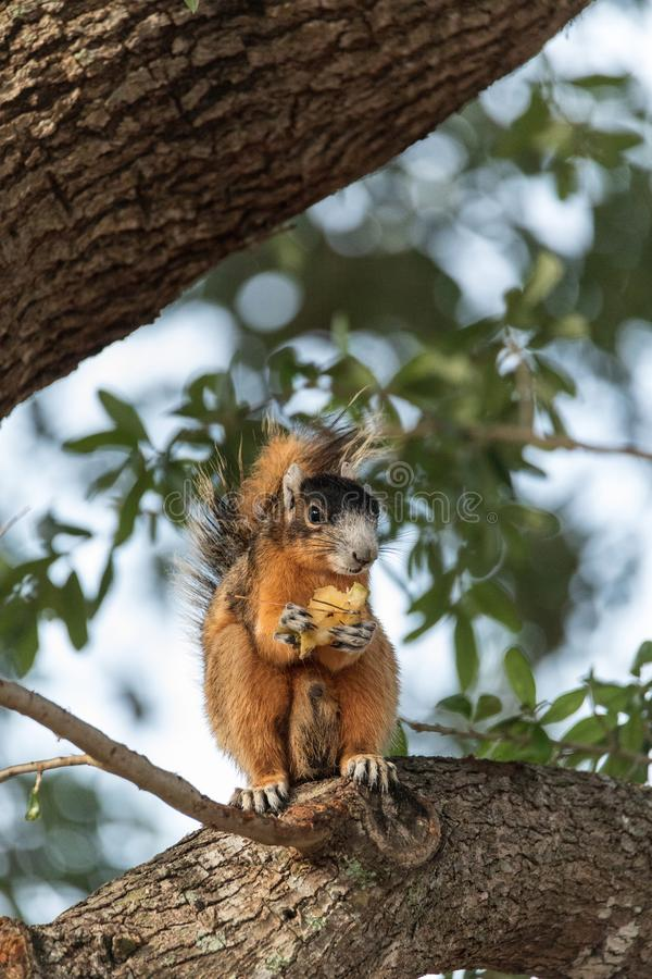 Southern fox squirrel Sciurus niger perches in a tree to snack on fruit from a tree. In Naples, Florida stock photo