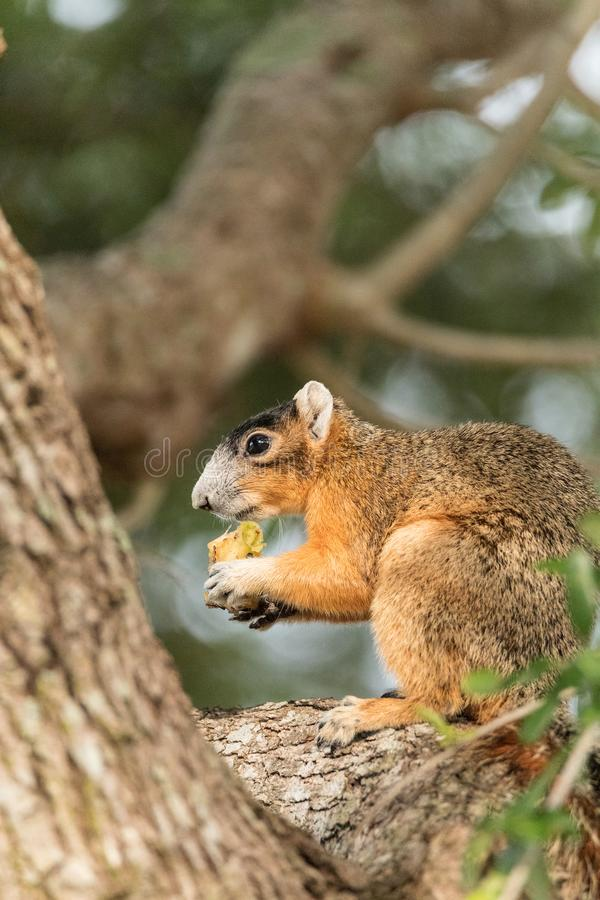 Southern fox squirrel Sciurus niger perches in a tree to snack on fruit from a tree. In Naples, Florida stock images