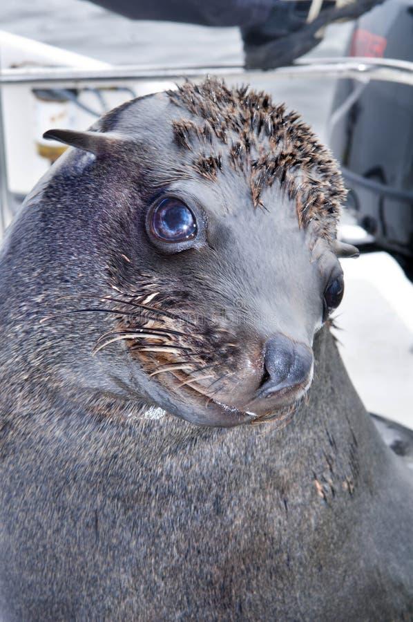 Southern fur seal stock image