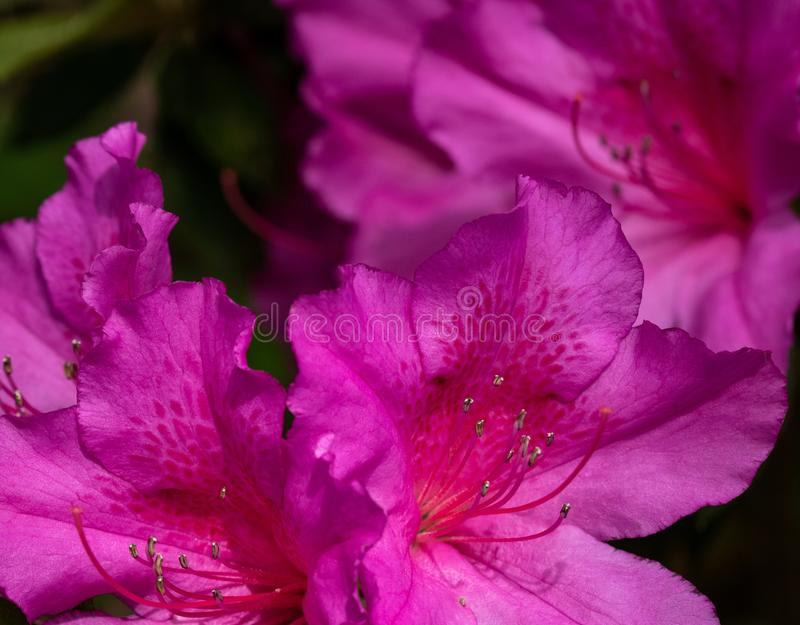 Formosa Azaleas in Full Bloom. Southern gardens come alive in spring with blankets of azaleas like this Formosa royalty free stock image