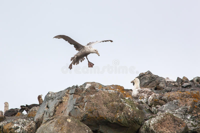 Southern Giant Petrel couple in love, Antarctica stock photo