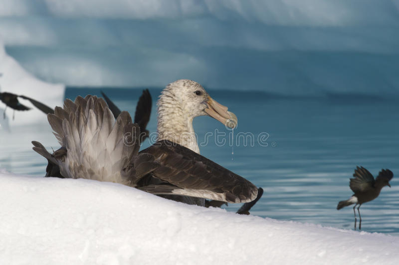Southern giant petrel eat carrion in Antarctic stock photo