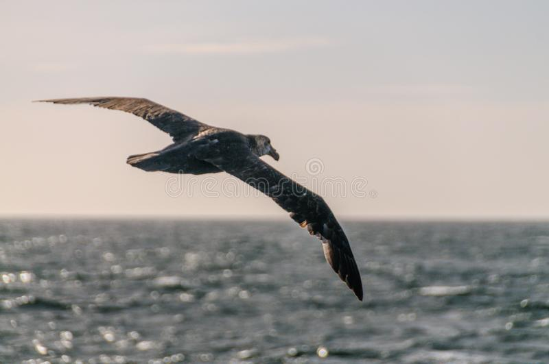 A Southern Giant Petrel in Flight royalty free stock images