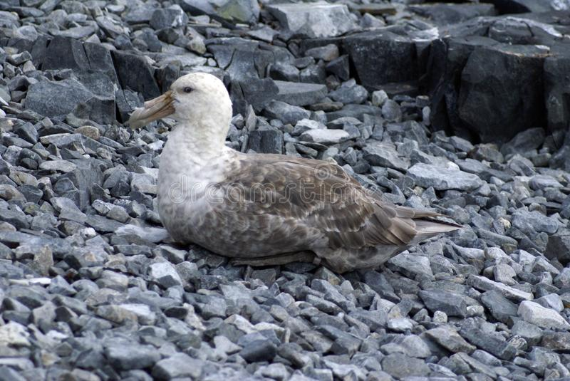Southern giant petrel in Antarctica royalty free stock photography