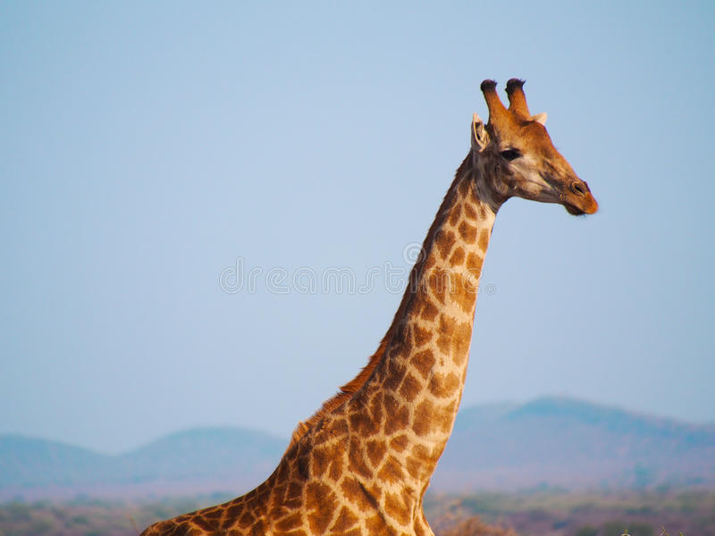 Southern giraffe. Elegance personified in the form of the southern giraffe, Giraffa giraffa. Framed against mountains and the blue african sky. Madikwe Game stock photography