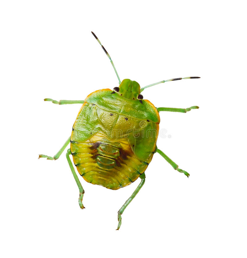 Southern green stink bug. Isolated on white royalty free stock images
