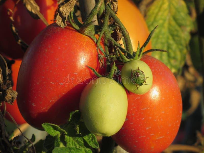 Southern green stink bug , Nezara Viridula - Linnaeus on tomato plant in the garden . Tuscany, Italy.  stock photos
