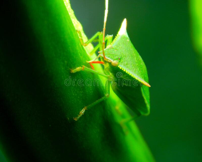 Southern green stink bug with serrated head. A Southern green stink bug with serrated head stock photography