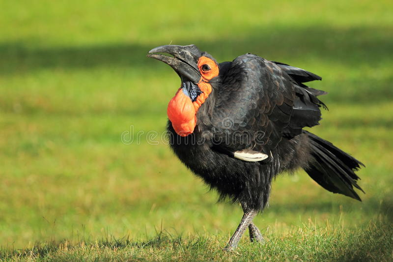 Southern Ground Hornbill Royalty Free Stock Image