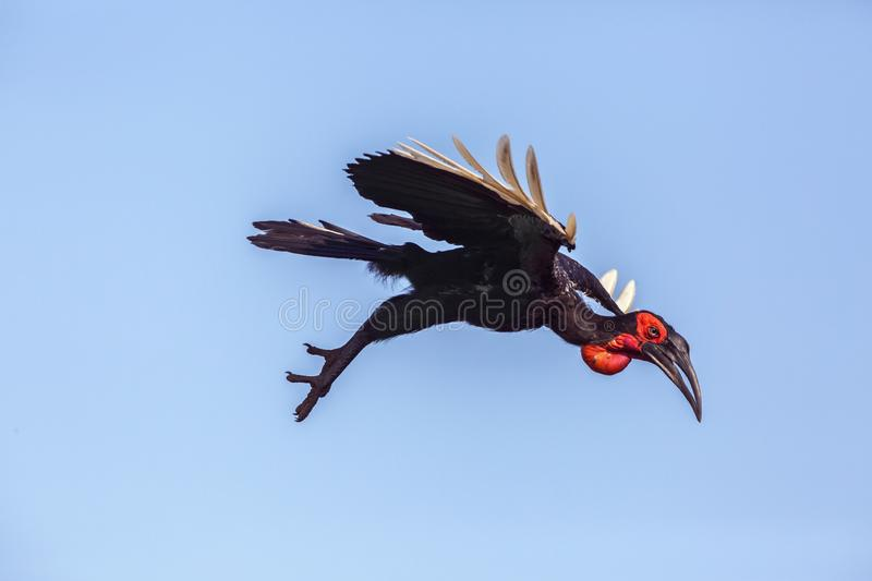 Southern Ground Hornbill in Kruger National park, South Africa. Southern Ground Hornbill flying isolated in blue sky in Kruger National park, South Africa royalty free stock images