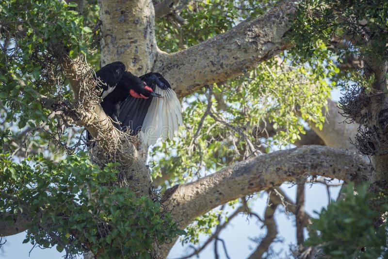 Southern Ground Hornbill in Kruger National park, South Africa. Southern Ground Hornbill grooming in a tree in Kruger National park, South Africa ; Specie royalty free stock photos