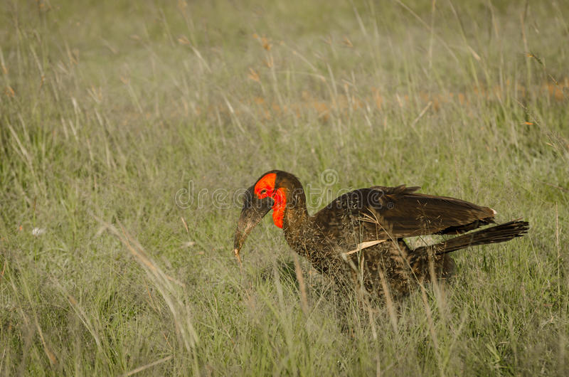 Southern Ground Hornbill with its catch. In Masai Mara, Kenya royalty free stock photos