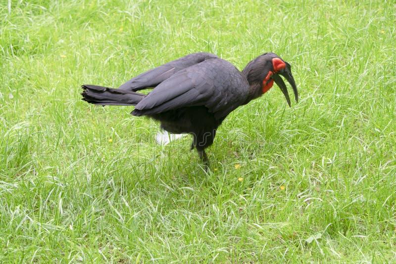 Southern ground hornbill - kaffir hornbill - Bucorvus leadbeateri - stock photos