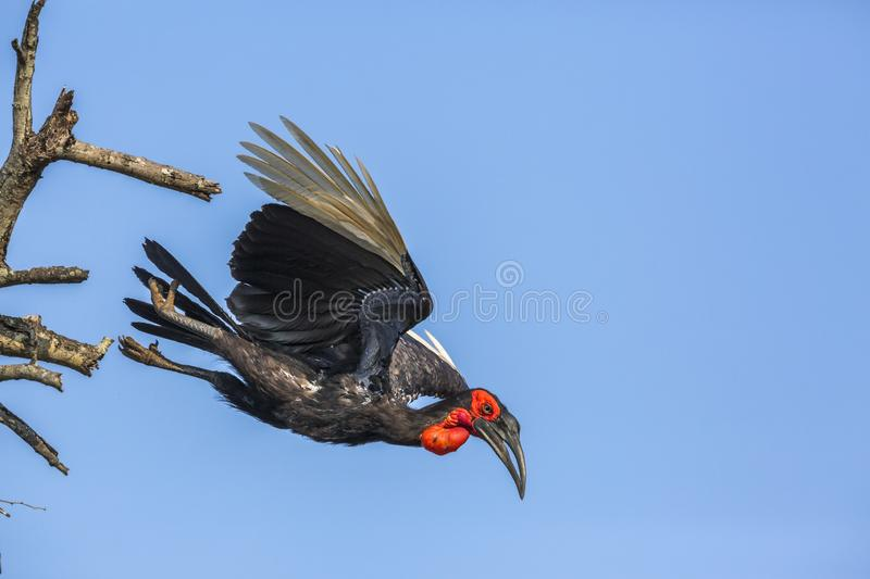 Southern Ground Hornbill in Kruger National park, South Africa. Southern Ground Hornbill flying isolated in blue sky in Kruger National park, South Africa stock image